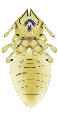 representation of a cat louse: Felicola subrostratus