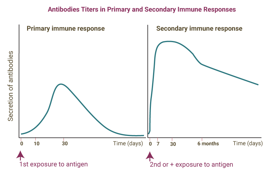 Primary and secondary immune responses comparison